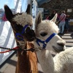 Animal Encounters and Animal Therapy Cornwall Talons Alpaca