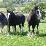 Heavy Horse Therapy Cornwall Talons